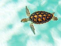Śliczny zagrażający dziecko żółw Zdjęcie Royalty Free