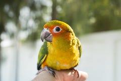 Śliczny zielony ptak na palcu, papuga na palcu, Papuzi słońca conu zdjęcia royalty free