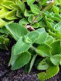 Śliczny, zielony, wściekłości tłustoszowata roślina Fotografia Stock