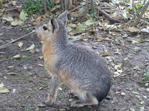 Śliczny zwierzę w Buenos Aires Fotografia Royalty Free