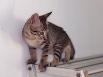 Ślicznych krótkiego włosy figlarki młodych azjatykcich kotów czarny i biały lampasy Zdjęcie Royalty Free