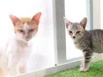 Ślicznych krótkiego włosy figlarki młodych azjatykcich kotów czarny i biały lampasy Zdjęcia Stock