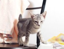 Ślicznych krótkiego włosy figlarki młodych azjatykcich kotów czarny i biały lampasy Zdjęcia Royalty Free