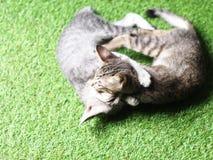Ślicznych krótkiego włosy figlarki młodych azjatykcich kotów czarny i biały lampasy Zdjęcie Stock