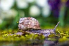 Ślimaczek czołgać się wzdłuż zielonej trawy Fotografia Stock