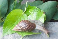 Ślimaczek (Helix pomatia, Burgundy ślimaczek, Romański ślimaczek, jadalny ślimaczek, Fotografia Royalty Free