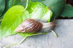 Ślimaczek (Helix pomatia, Burgundy ślimaczek, Romański ślimaczek, jadalny ślimaczek, Obraz Stock