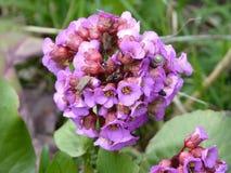 Ślimaczek i pluskwa na bergenia roślinie Zdjęcie Royalty Free