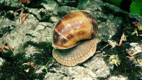 Ślimaczek jest poruszający na kamieniach zbiory