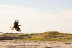 Ślimaczek kania na plaży Obraz Stock