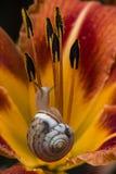 Ślimaczek na żółtym kwiacie Fotografia Stock