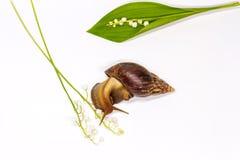 Ślimaczek na białym lesie i tle kwitnie Fotografia Stock