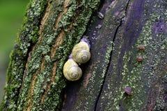 Ślimaczek na drzewnym bagażniku zdjęcia royalty free