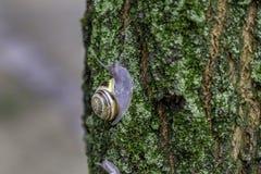 Ślimaczek na drzewnym bagażniku obraz royalty free