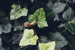 Ślimaczek na dzikim bluszcza liściu po deszczu Zdjęcia Stock