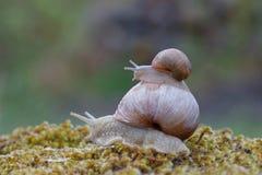 Ślimaczek na górze ślimaczka na zielonym mech fotografia stock