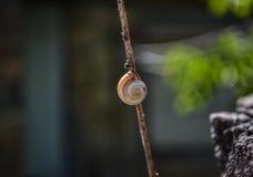 Ślimaczek na gałąź Fotografia Royalty Free