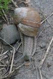 Ślimaczek na kamieniu z zielonymi roślinami Zdjęcie Stock