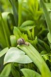 Ślimaczek na liściu w ogródzie Fotografia Royalty Free