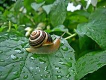 Ślimaczek na liściu wewnątrz po deszczu Fotografia Royalty Free