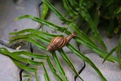 Ślimaczek na małym drzewie w ogródzie Ślimaczki chodzą wokoło znajdować jedzenie w zwolnionym tempie Zdjęcie Stock