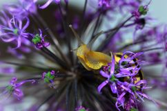 Ślimaczek na purpurowych kwiatach Zdjęcie Stock