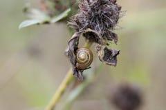 Ślimaczek na suchej trawie Obrazy Royalty Free