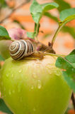 Ślimaczek na zielonym jabłku Obrazy Stock