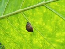 Ślimaczek na zielonym liściu Zdjęcie Stock