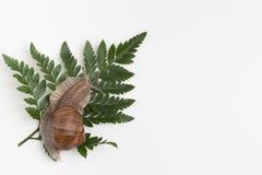 Ślimaczek na zielonym liściu w białym tle Fotografia Royalty Free