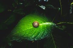 Ślimaczek na zielonym liściu z czarnym brzmienia tła pojęciem Zdjęcia Stock