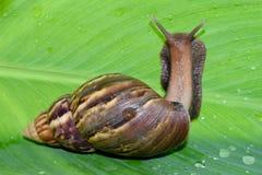 Ślimaczek obraca z powrotem na zielonym bananowym liściu Zdjęcia Stock