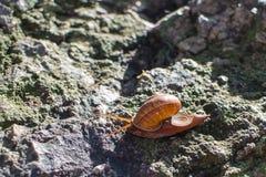 Ślimaczek poruszający na kamieniu Zdjęcia Royalty Free