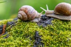 Ślimaczek w lesie na mszystym drzewnym bagażniku Makro- Natura wizerunek Zdjęcie Royalty Free