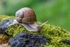 Ślimaczek w naturalnym środowisku Makro- zamyka w górę natura wizerunku Obrazy Stock