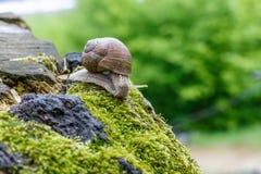 Ślimaczek w naturalnym środowisku Makro- zamyka w górę natura wizerunku Obrazy Royalty Free