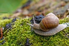 Ślimaczek w naturalnym środowisku Makro- zamyka w górę natura wizerunku Zdjęcie Royalty Free