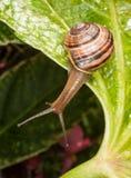 Ślimaczek wiesza z liścia Zdjęcia Stock