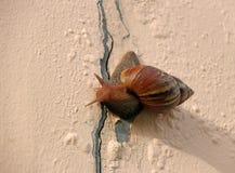 Ślimaczek wolno chodzi na róż menchiach barwi ścianę zdjęcia stock
