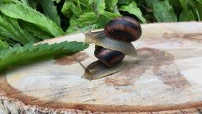 Ślimaczek wspinający się na zlew i inny ślimaczek siedzimy zdjęcie wideo