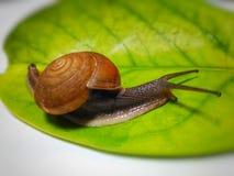 Ślimaczka brąz Fotografia Stock