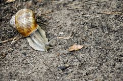 Ślimaczka czołganie przy ziemią zdjęcia stock