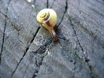 ślimaczka mollusk podrożec Obrazy Royalty Free