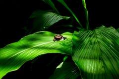 Ślimaczka pięcie na zielonym liściu z czarnym brzmienia tła pojęciem Fotografia Royalty Free