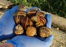 Ślimaczki na rolni ślimaczki Zdjęcia Royalty Free