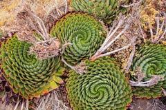 Ślimakowaty aloes, Lesotho ` s Krajowa roślina zdjęcie stock