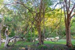 Ślimakowaty drzewo lub spirala winograd zdjęcie stock