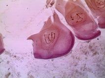 Ślinowego gruczołu komórki gryzienie muszka - gigantyczni chromosomy pod mikroskopem fotografia royalty free