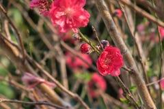 Śliwka kwitnie na gałąź z słońc świeceniami na kwiatów płatkach Zdjęcie Royalty Free