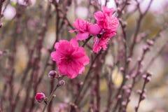 Śliwka kwitnie na gałąź z słońc świeceniami na kwiatów płatkach Obrazy Royalty Free